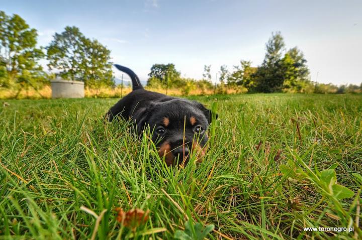 Rottweiler Hodowla czarujący