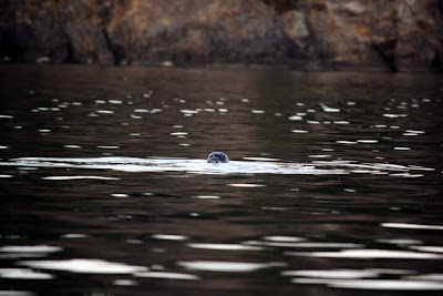 Seal in the water in the Gulf Islands in Canada