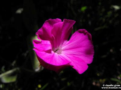 Coroniţa ( Lychnis coronaria