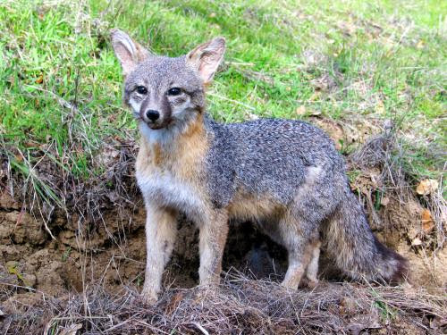 The Old Gray Fox