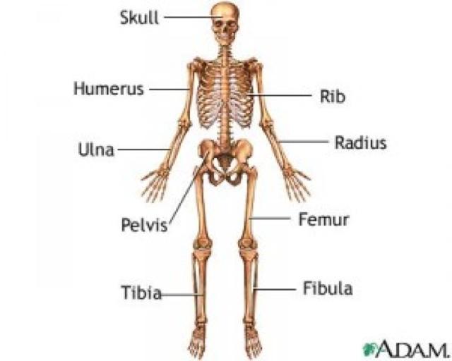 anatomi fot skjelett