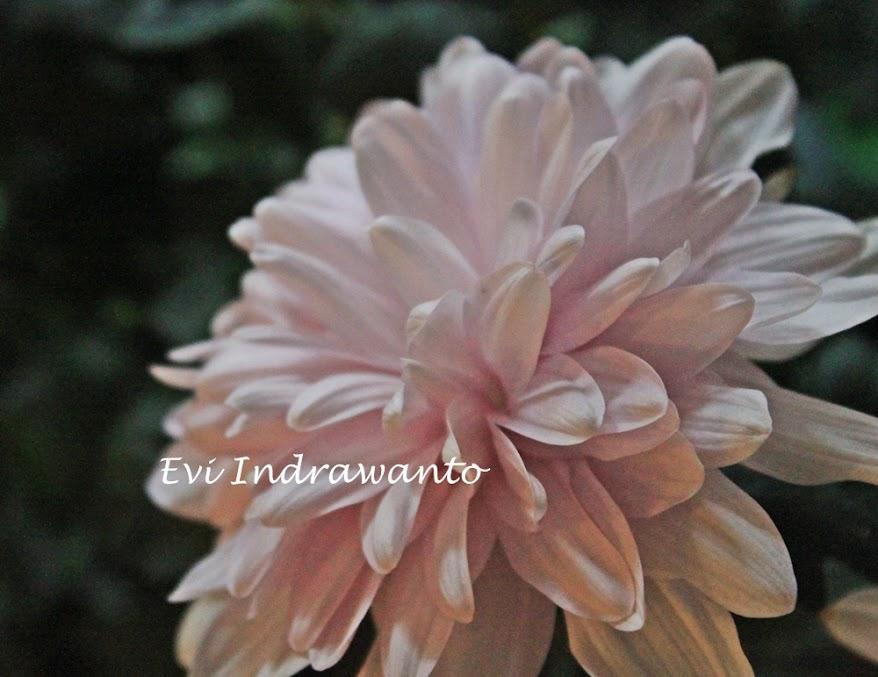 bunga+seruni+pink Grafik, Rumus dan Angka