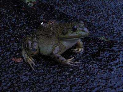 Dumb frog