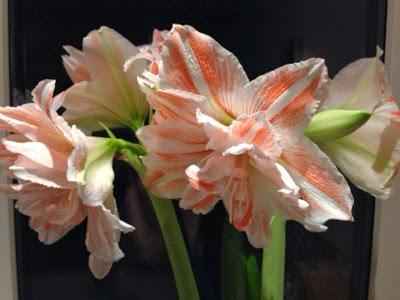 amaryllis i blomst