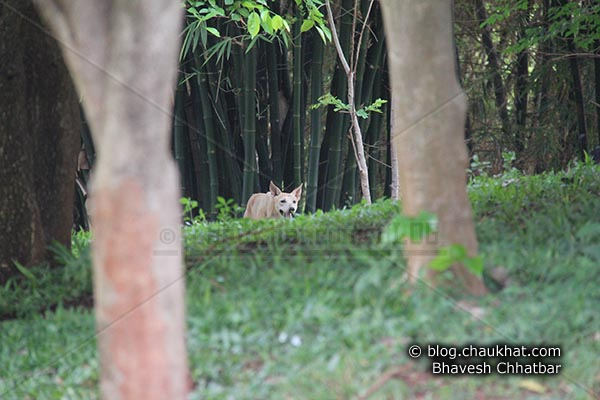 Stray dog hiding itself acting like a wild predator in Pune city's beautiful Okayama Garden [AKA Pu La Deshpande Garden] on Sinhgadh Road