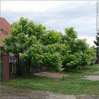 Catalpa bignonioides 'Aurea' - Surmia bignoniowa pokrój kwitnącej rosliny