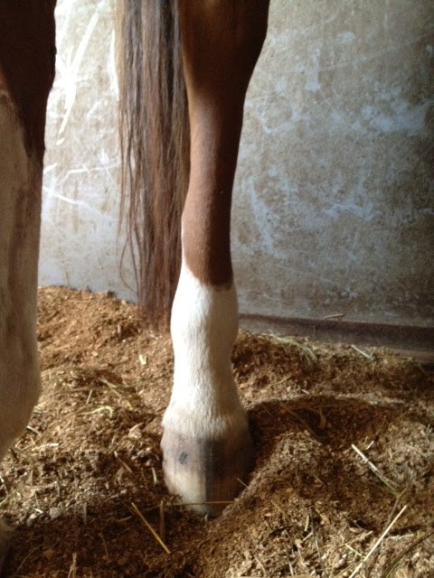 Lump/Hematoma on hind leg    Thoughts? - Chronicle Forums