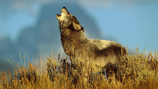 Timber Wolf, Teton Valley, Idaho.jpg