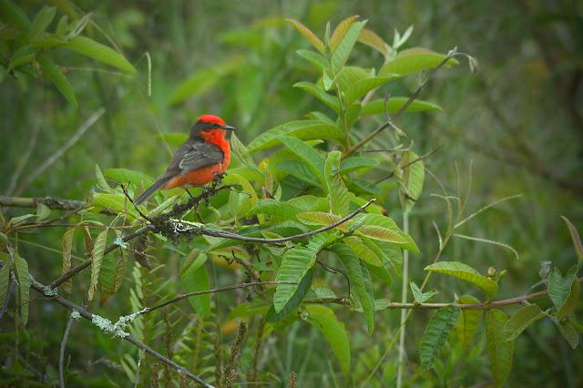 Pájaro brujo en Sierra Negra