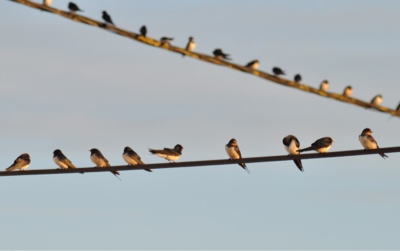 French village diaries migrating birds France swallows