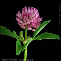 Trifolium pratense inflorescence - Koniczyna łąkowa kwiatostan i liście