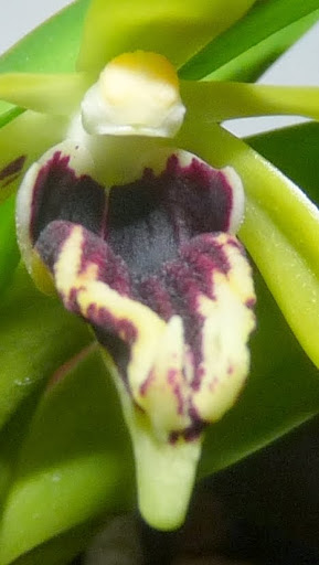 Vanda (Trudelia) cristata P1370050