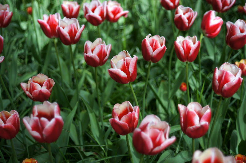 Tulip merah putih