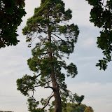 Træ i Malahide
