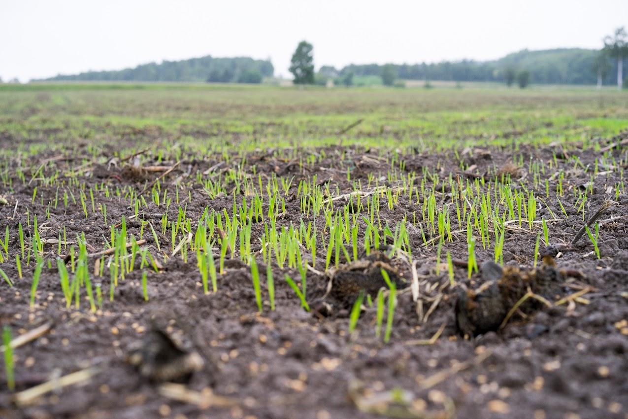 燕麦の芽が出始めました