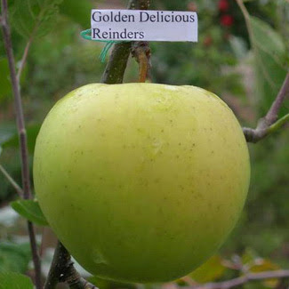 Голден Делишес Рейндерс яблоню купить
