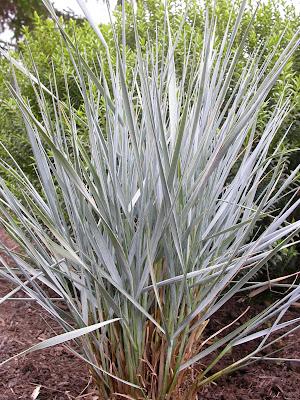 Elymus magellanicus