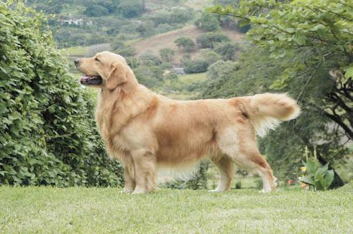 Labrador Retriever Or Golden Retriever Which One To Choose