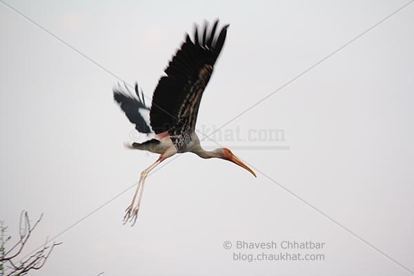 Painted stork taking off