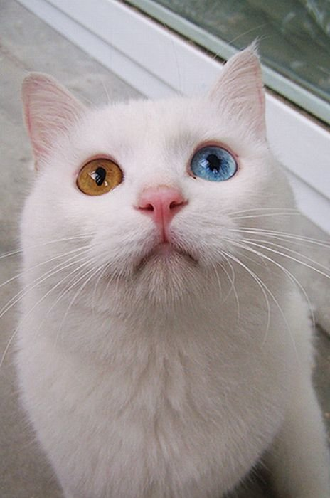Different Eye Brushes: Different Eye Colored Cat