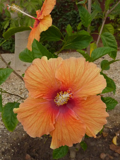 Mes hibiscus et moi...une longue histoire - Page 12 P1030565