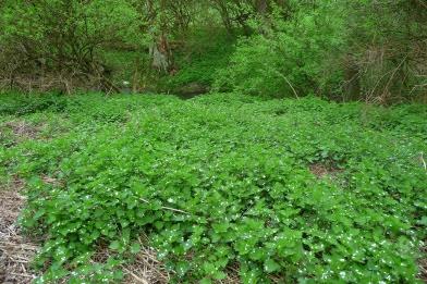 Pokrzywa zwyczajna wiosna Urtica dioica