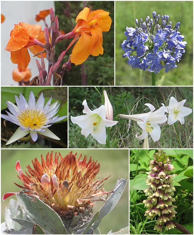 Bloemen, Drakensberg - Zuid Afrika