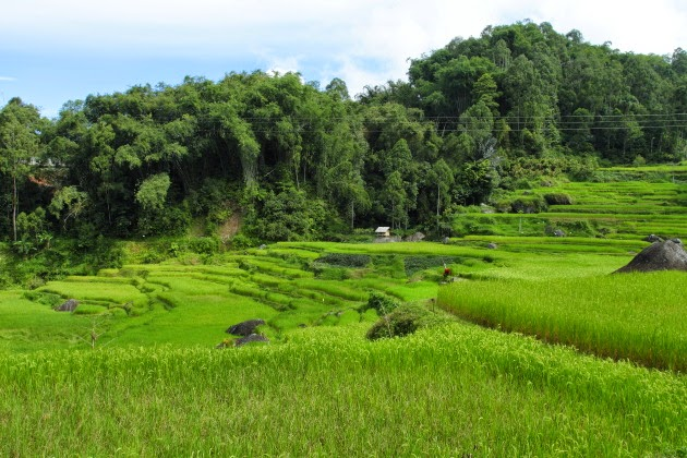 Rice fields of Tana Toraja