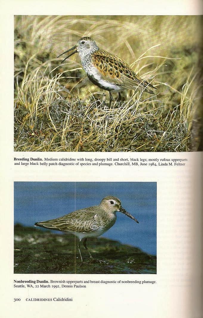 Shorebirds & Waders - Avian Review