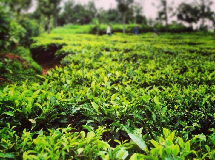 adopt a tea bush