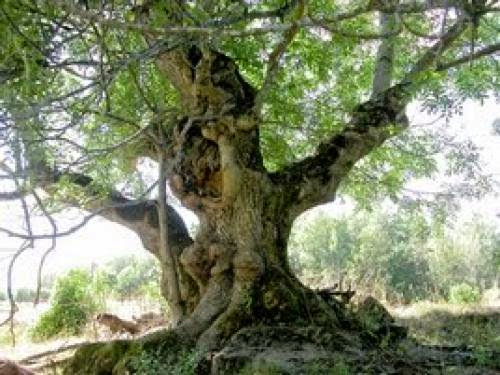 Celtic Tree Month Of Ash Begins Today