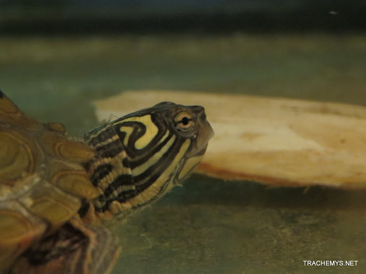 mes tortues (BK) - Page 11 IMG_2234