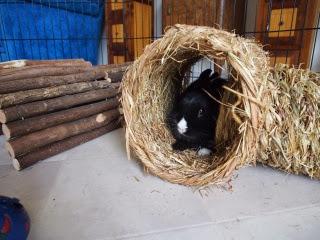 Prince, petit lapin noir-[adopté] 985505Lapinnoiretblanc
