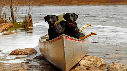 On the Go, Black Labradors.jpg