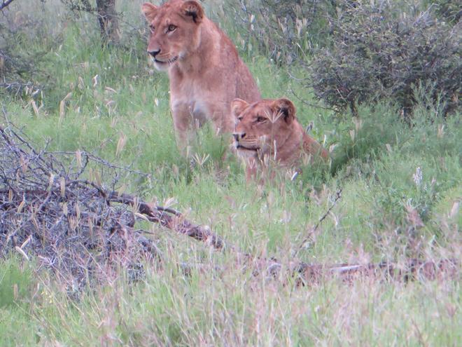 rustende leeuwen observeren een kudde impalas aan de overkant