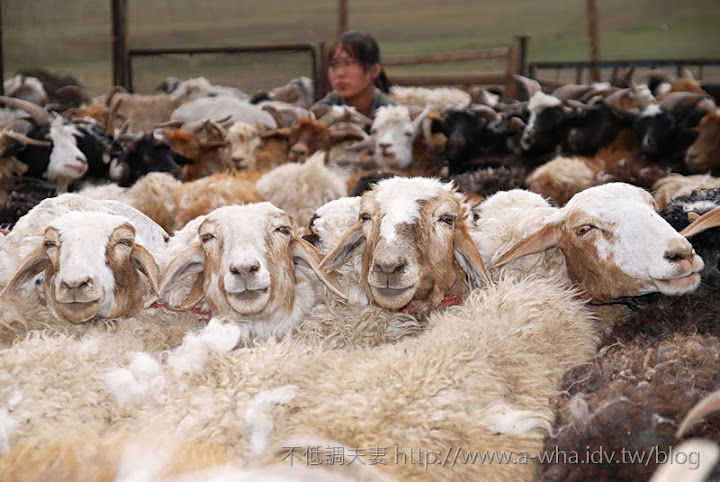 A-wha飛行日誌 No.100,掛羊頭? 賣什麼!外蒙古 MONGOLIA-01