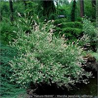 Salix integra 'Hakuro-Nishiki' - Wierzba japońska całolistna Naturalny pokrój
