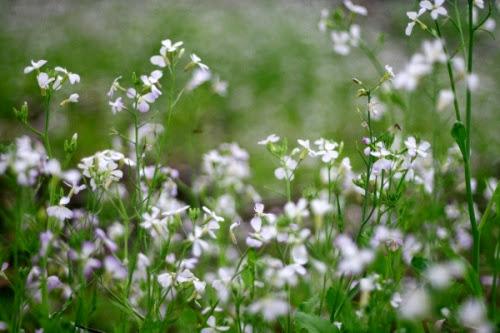 304 Mộc Châu đẹp tinh khôi mùa cải trắng