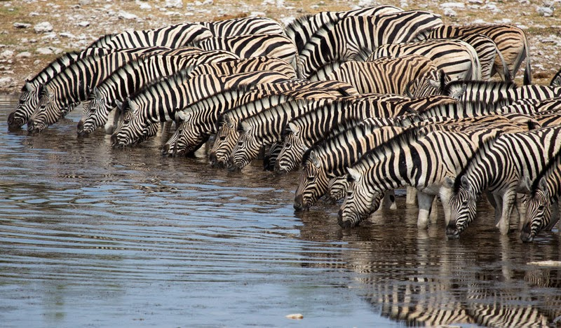 Zebras drinking in a river, Africa