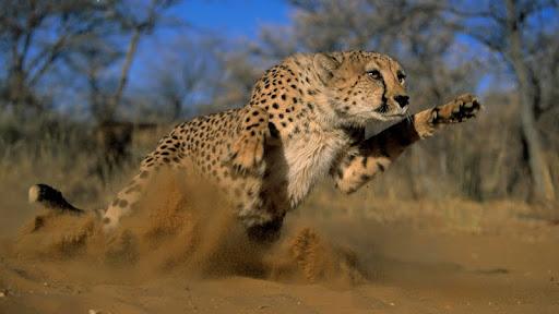 Pouncing Cheetah, Africa.jpg