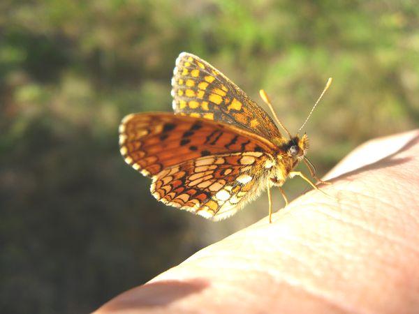 Досконалий метелик