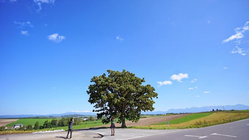 美瑛 セブンスターの木 写真2