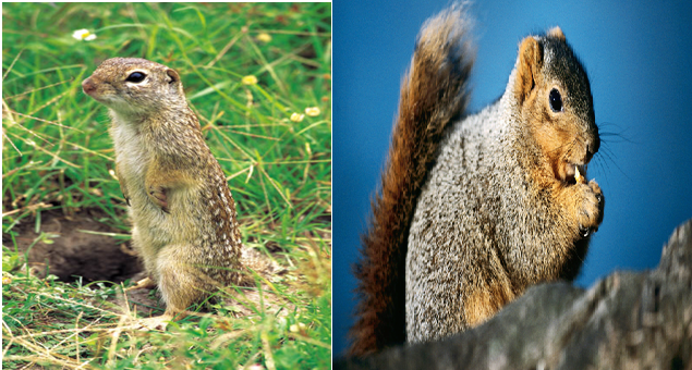 Squirrels, Squirrel Amazing Facts