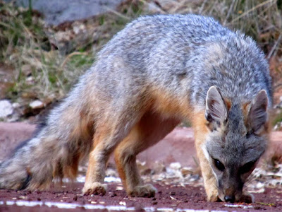 A fairly tame fox at the Weeping Rock parking lot