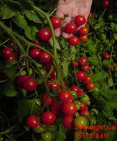 Hạt giống cà chua Baby (cherry)