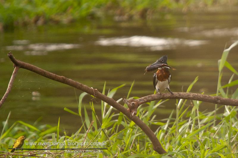 Martín pescador chico, Green kingfisher, Chloroceryle americana