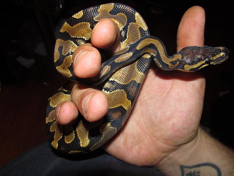 Royal/Ball Python thread (Python regius) Scorps%25252Bpython%252520018