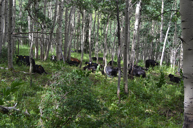 black and brown cows under the white alder trees