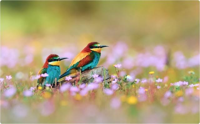 صور اجمل عصافير ملونة جميلة 2013-08-24_00h05_00.