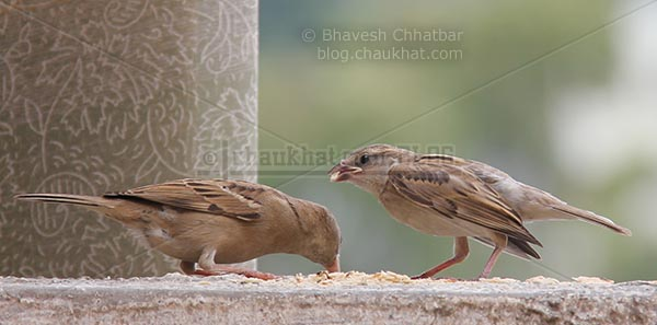 Sparrow filling beak to feed its baby
